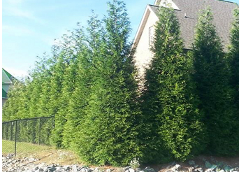 wind chime nursery grows green giant thuja s other evergreens for